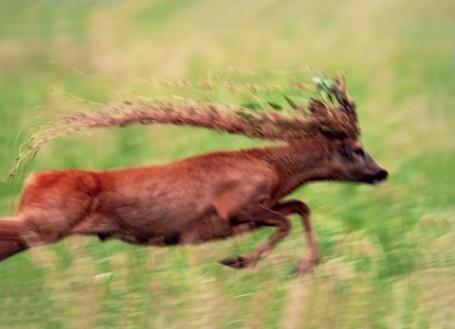 Rehbock mit Kopfschmuck, Tierfotografie von Arnold Ritter